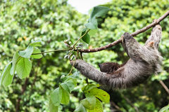 Three Toed Sloth Reaching Royalty Free Stock Images