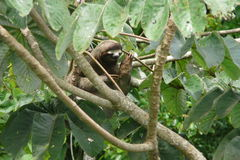 Three toed sloth resting over a branch close to Canopy Tower lodge, Panama Royalty Free Stock Photo