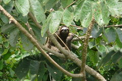Three toed sloth resting over a branch close to Canopy Tower lodge, Panama. Three toed sloth resting over a branch close to Canopy Tower lodge, Soberania Royalty Free Stock Image