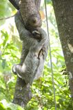 Three-toed Sloth. This Three-toed Sloth was captured in Costa Rican Antonio National Park Stock Photography
