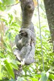 Three-toed Sloth. This Three-toed Sloth was captured in Costa Rican Antonio National Park Royalty Free Stock Photography