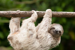 Three Toed Sloth Royalty Free Stock Photography