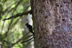 Three-toed woodpecker looking for food stock photo