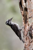 Three-toed woodpecker, Picoides tridactylus Royalty Free Stock Photo