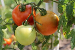 Three tomatoes on the bush. Fresh tomatoes on bush green red Stock Images