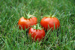 Three Tomatoes In Grass. Three whole tomatoes arranged in a triangle shape with green stems still attached, sitting in grass Royalty Free Stock Photos