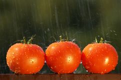 Three tomatoes in the rain Royalty Free Stock Photos