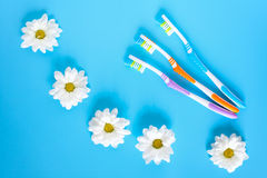 Three toothbrushes and chamomile flowers on a blue background Royalty Free Stock Photos