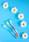 Three toothbrushes and chamomile flowers on a blue background. The concept of natural cosmetics. View from above Royalty Free Stock Photography