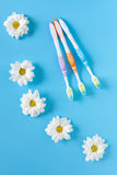 Three toothbrushes and chamomile flowers on a blue background. Royalty Free Stock Image