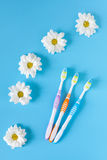 Three toothbrushes and chamomile flowers on a blue background. Stock Images