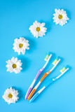 Three toothbrushes for family and chamomile flowers on a blue background. Stock Photos