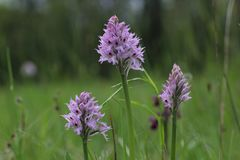 Three-toothed orchid Neotinea tridentata flowering in a field in Slovenia stock images
