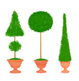 Three Topiaries in Terra Cotta Urns Royalty Free Stock Photography