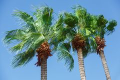 Three tops of a palm tree with green leaves on a blue sky. Turkey. Marmaris. Three tops of a palm tree with green leaves on a blue sky. Turkey royalty free stock photo