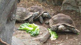 Three tortoises eating lettuce leaves on the ground Stock Photo