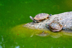 Three tortoises. Two tortoises resting on a rock in a pond for some sunshine while a third one gets ready to share their spot Royalty Free Stock Images