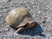 Three-towed box turtle, male, with red markings, full body. Face on photo of a three-towed box turtle on gravel. These turtles are land turtles and have only Stock Photo
