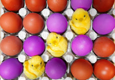 Three toy chickens sit ibetween red and violet Easter eggs Stock Photos
