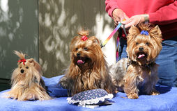 Three Toy Yorkies Stock Image