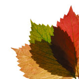 Three transparent autumn leaf Stock Photo