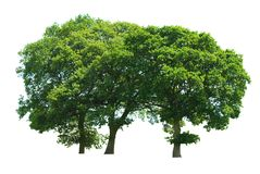 Three Tree Copse. A copse of three oak trees isolated on a white background stock photography