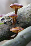 Three tree mushrooms. Small mushrooms on dry branch with moss royalty free stock image