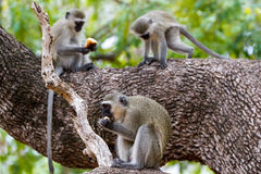 Three in a Tree. Three Vervet Monkeys have a morning snack in a tree in Kruger National Park, South Africa royalty free stock photos