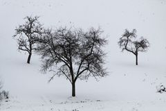 Three trees. Standing in the snow Royalty Free Stock Photos