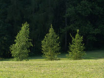 Three trees. Detail view of three fresh trees on green background Royalty Free Stock Photos