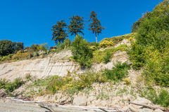 Three Trees On A Bluff. Three trees stand out on a sandy bluff at Saltwater State Park in Washington State Stock Images