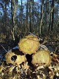 Three trees cut down stock photos