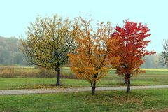 Three trees in fall Royalty Free Stock Image