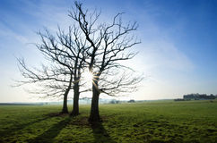 Three trees in field. Three trees in silhouette against the sun in a green rural field Royalty Free Stock Image