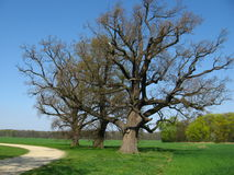 Three trees in the field. Lonely three trees in the field Royalty Free Stock Photo