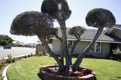 Three Trees. The three trees in front of the house is trimly good looking Stock Images