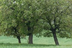 Three trees growing in the green field Stock Image