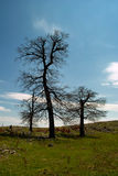 Three trees. On a mountain top Beljanica damaged due to lightning, fotogtafisano in early spring before leafing Stock Photography