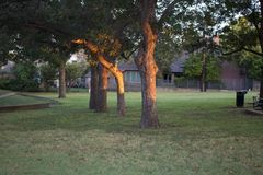 Three trees in a park reflecting the early morning sunlight Royalty Free Stock Photos