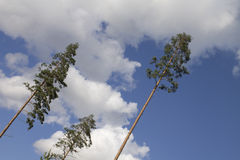 Three trees. Three pine trees with sky background Stock Photo