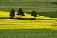 Three trees in rapeseed field Stock Images