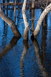 Three trees reflection in the water Stock Photography