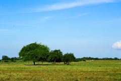 Three trees in savana. Is taken to show perspective is an important thing. It's not matter Royalty Free Stock Photo