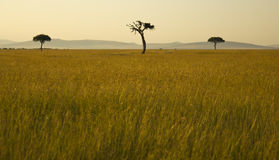 Three trees in the Savannah Royalty Free Stock Photography