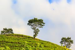Three trees on top of a green hill on a background of a cloudy sky. Wildlife and ecology. Place for text Royalty Free Stock Images