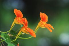 Three tropaeolum Stock Photo