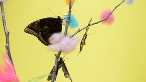 Three tropical butterflies sitting on a stick. And flapping wings stock footage