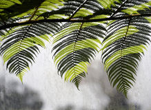 Three tropical fern leaves Royalty Free Stock Image