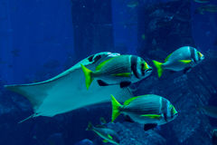 Free Three Tropical Fishes Swimming Together With Stingray Stock Photography - 74958902