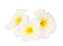 Three tropical flowers. Royalty Free Stock Image